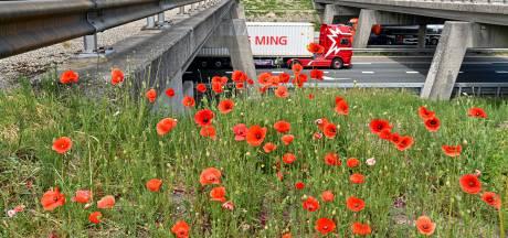 Bermen groeien en bloeien uitbundig: 'We krijgen  klachten én complimenten'