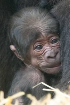 Uniek babynieuws in Apenheul: eerste gorillajong in bijna tien jaar én eerste nakomeling van gorillabaas Bao Bao