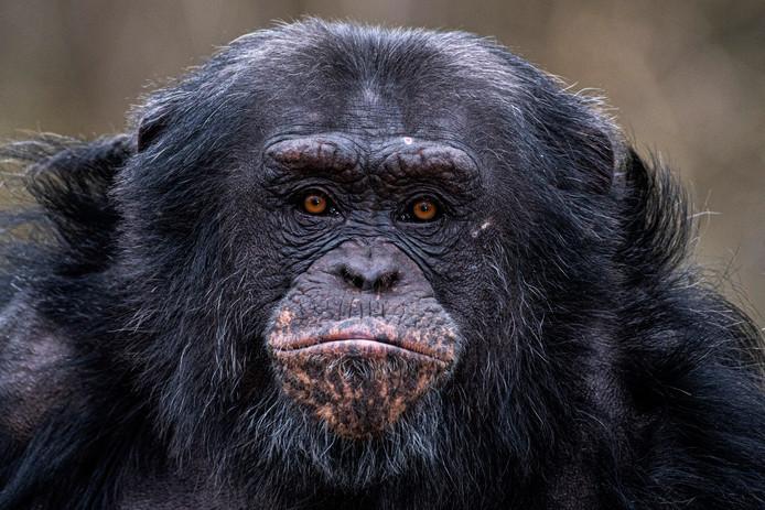 Chimpansee Ghineau wordt dinsdag geopereerd.