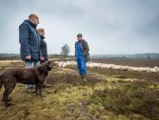 Herder Veluwse kudde lamgeslagen na weer een aanval op schapen: 'Ze zagen er verschrikkelijk uit'