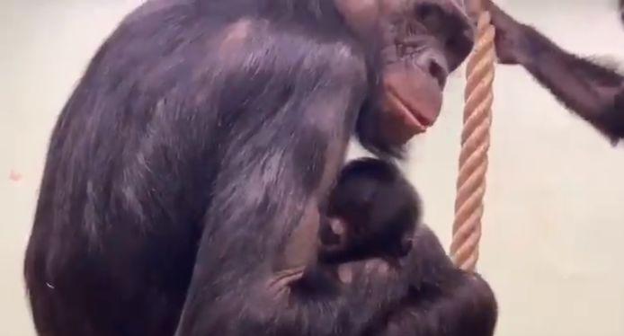 De nieuwe bonobo-baby.