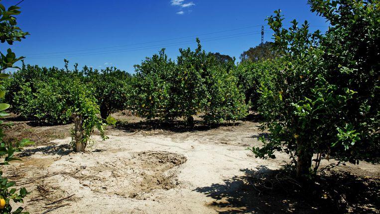 De plek in de citroenboomgaard in Alquerias, ongeveer 12 kilometer van Murcia, waar de Spaanse politie de lichamen van oud-volleybalster Ingrid Visser en haar partner Lodewijk Severein heeft aangetroffen. Beeld ANP