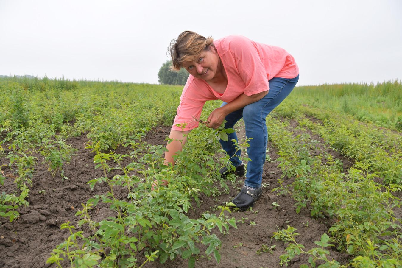 Geertje van der Krogt van de biologische rozenkwekerij De Bierkreek in IJzendijke in een veld met eerstejaars planten. Ze staan dan nog strak in rijen en het belangrijkste werk is nu onkruid wieden.