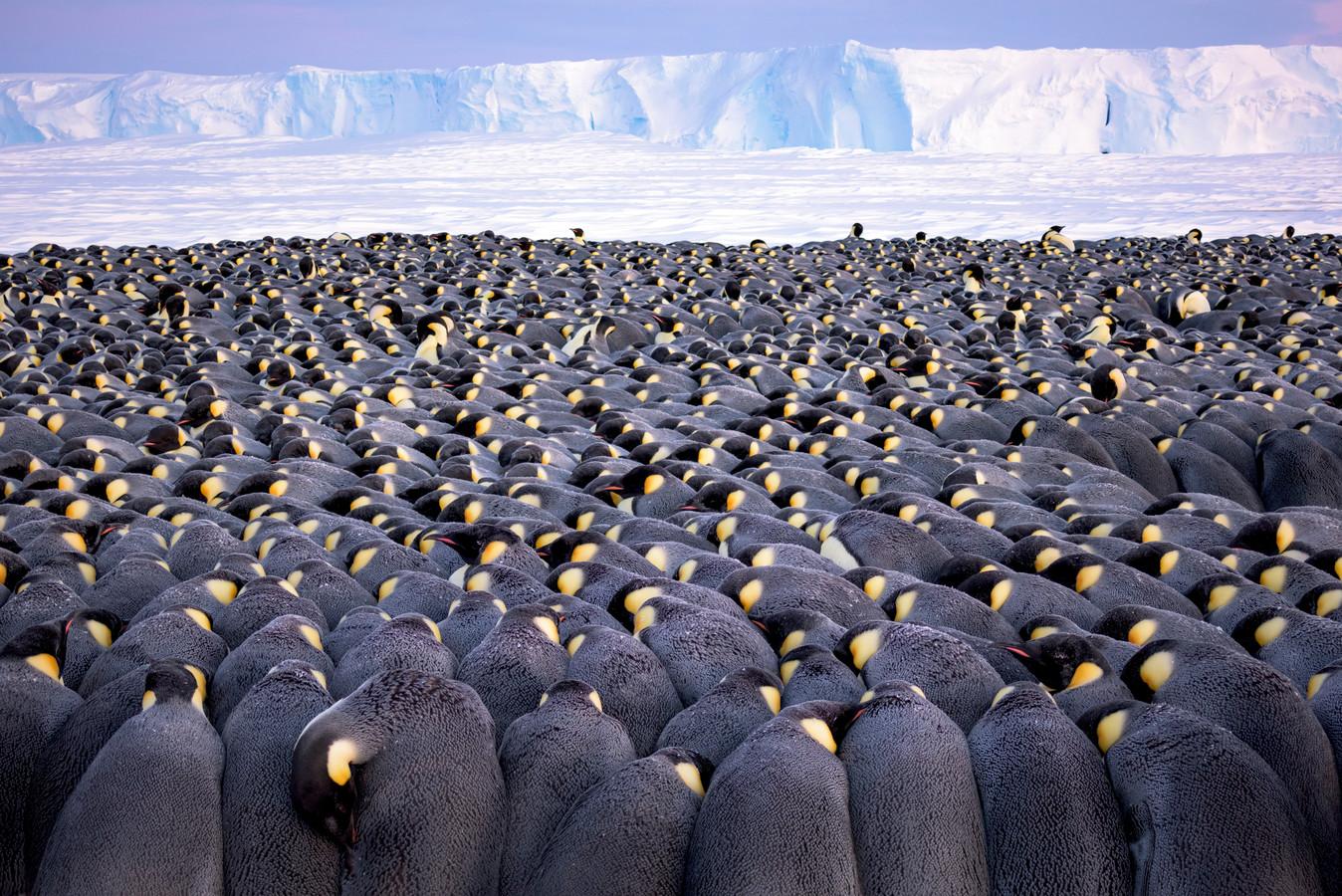 'The Huddle', Antarctica. Winnaar in de categorie Wildlife Photographer Portfolio Award.