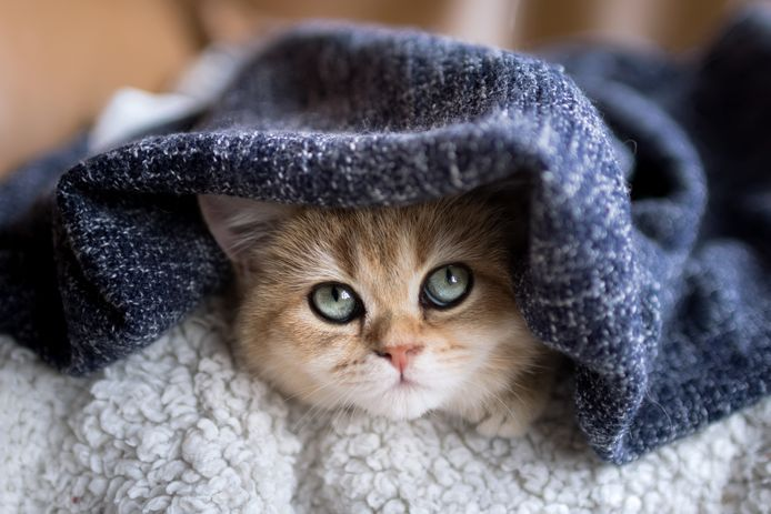 Dory is een Britse korthaar met wondermooie ogen.