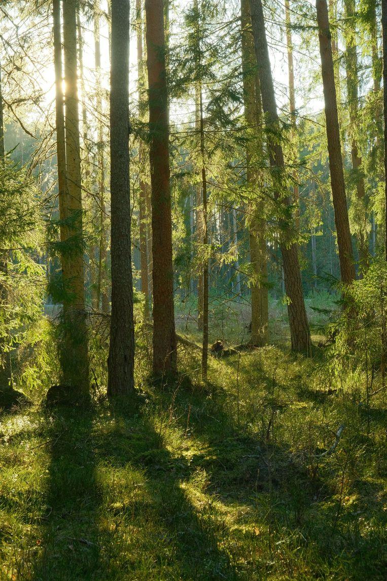 Voor industriële houtverbranding worden kostbare bossen en natuurgebieden vernietigd in onder meer Estland, Letland en de VS. Beeld Getty