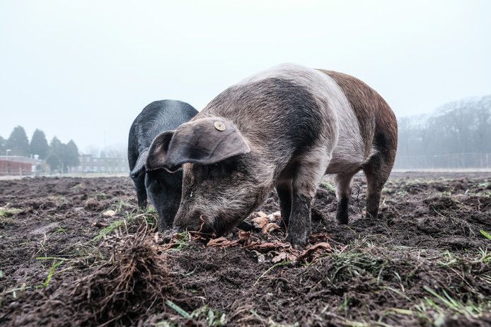 Hier struinen de varkens nog nietsvermoedend door de tuin.