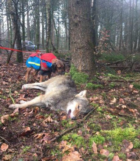 Kwestie van tijd voordat volgende wolf wordt doodgereden op de Veluwe (en dat komt niet alleen door drukte in de natuur)