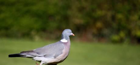 Provincie: afschieten duiven mag niet zonder goede onderbouwing