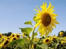 Stadsboerin Karin Vaneker en D66 Enschede: Wie kweekt de grootste zonnebloem van de stad?