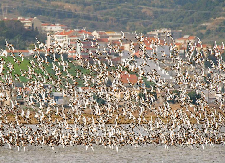 Een grote groep grutto's in vlucht boven een rijstveld langs de rivier de Taag in de omgeving van Lissabon. De in Nederland broedende grutto's foerageren in het vroege voorjaar op deze rijstvelden, voordat ze in een keer  terugvliegen naar Nederland.  Beeld Hollandse Hoogte / Nederlandse Freelancers
