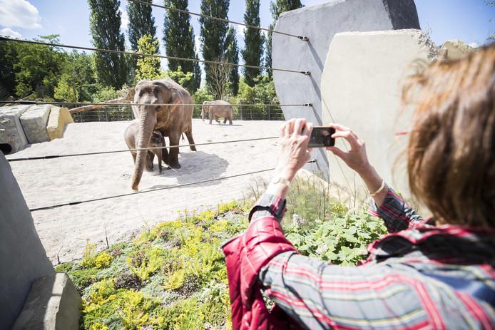 De twee Aziatische olifantenkoeien en kalfje Sanuk maken kennis met hun nieuwe buitenverblijf in Artis.