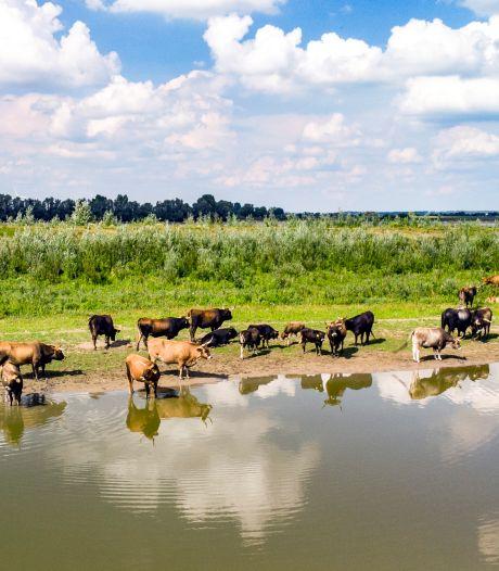 Runderen langs Waal zitten vol gif, verkoop van 'oervlees' stilgelegd