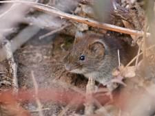 De muizen hebben lentekriebels: 'Het enige wat nog telt, is het vinden van een vrouwtje'