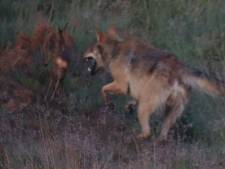 Wolf op Veluwe grijpt reekalf: 'Ik denk dat ik nooit meer zoiets moois zal zien'