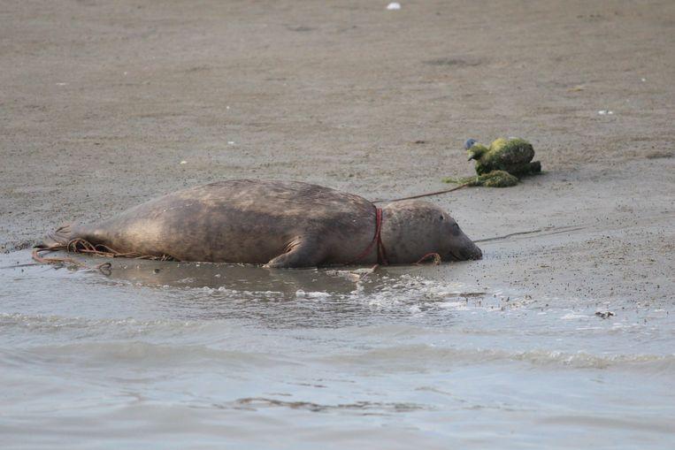 De dode zeehond met het touw rond de nek.