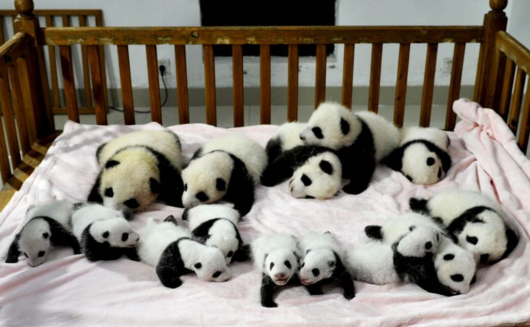 In this Monday, Sept. 23, 2013 photo, fourteen panda cubs are arranged in a crib for photos as they are shown to the public at the Giant Panda Breeding and Research Base in Chengdu, in southwest China's Sichuan province. (AP Photo) CHINA OUT Beeld AP