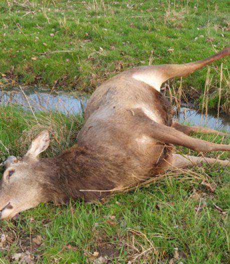 Beschermd edelhert doodgeschoten in natuur bij Oirschot: 'Zoiets is nog nooit in Brabant voorgekomen'