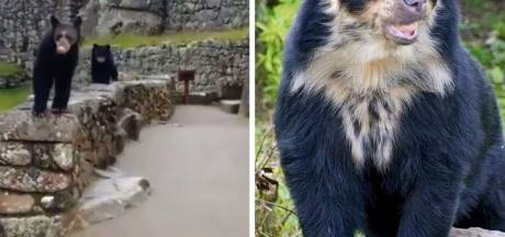 Deux rares ours à lunettes filmés au Machu Picchu