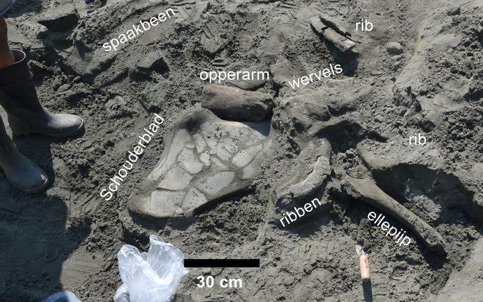 De gevonden onderdelen van een vinvis die ongeveer 8 tot 9 miljoen jaar geleden leefde.
