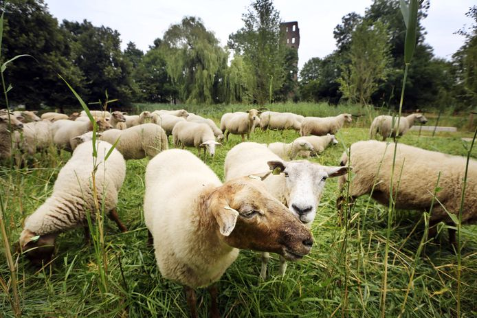 In onder meer het Slotbossetorenpark zijn de laatste jaren schapen ingezet voor de begrazing.