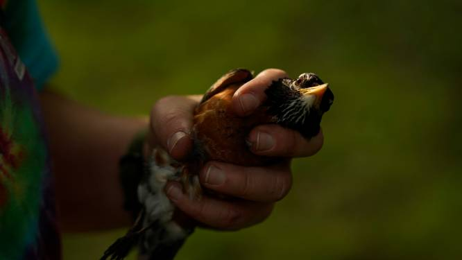 Vogels vangen met lijmstokken is illegaal, oordeelt Franse rechter