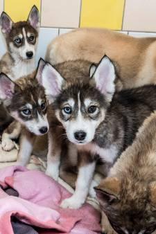 Telefoon staat roodgloeiend voor gedumpte puppies