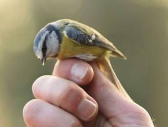 """Natuurpunt plukt Roosdaalse vogels uit de lucht: """"Ringen levert waardevolle informatie op over hun verspreiding"""""""