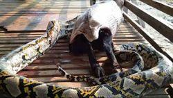 Pure horror: gigantische python sluipt boerderij binnen om geit op te eten