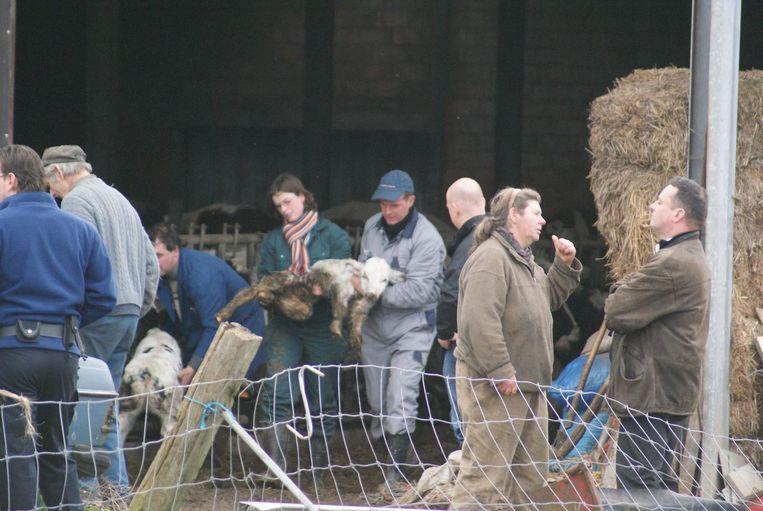 Een beeld van één van de inbeslagnames op de boerderij van Stefan V. en Sonia S. in Heikruis. Sinds 2006 moesten ze niet minder dan zeshonderd dieren afgeven wegens verwaarlozing.