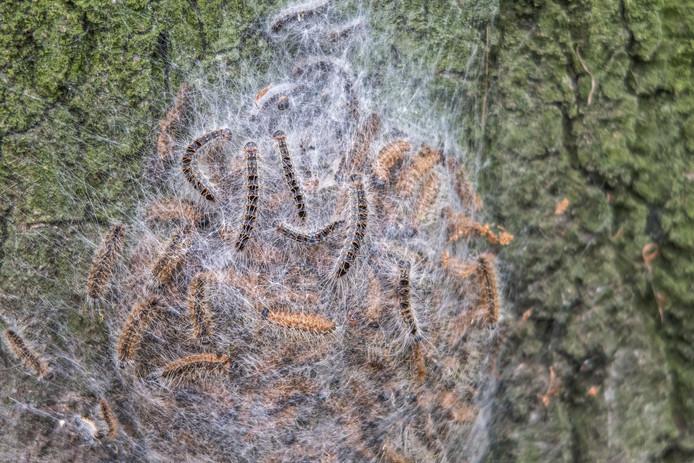 De eikenprocessierups, hier in een nest aan de Wipstrikkerallee in Zwolle, vormt een gevaar voor de gezondheid van mensen en honden. Om ze te bestrijden worden in Zwolle vogelhuisjes opgehangen, zodat natuurlijke rupsvijanden koolmees en pimpelmees hun werk kunnen doen.