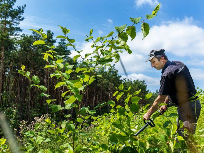 Huis ter Heide. Ab Boer, natuuraannemer, bezig met het snoeien  van de Japanse duizendknoop (groene bladeren).