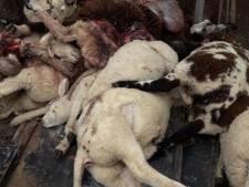 Twaalf schapen afgeslacht in weiland bij Laag Zuthem: was het een wolf?