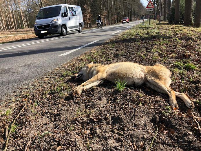 De wolvin die op 6 maart werd doodgereden op de N224 tussen Arnhem en Ede.