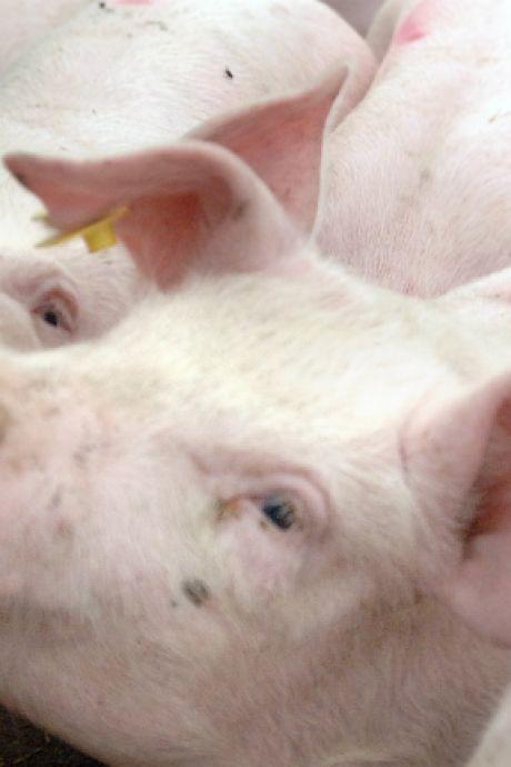Roep uit politiek om onderzoek dierenwelzijn bij Geldrops slachthuis