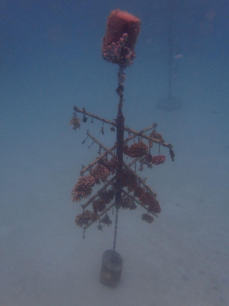 Afgezonken plastic boompje waar koraal aan groeit. Beeld Ronald Osinga