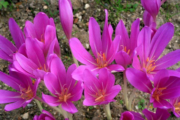 Colchicum Speciosum.