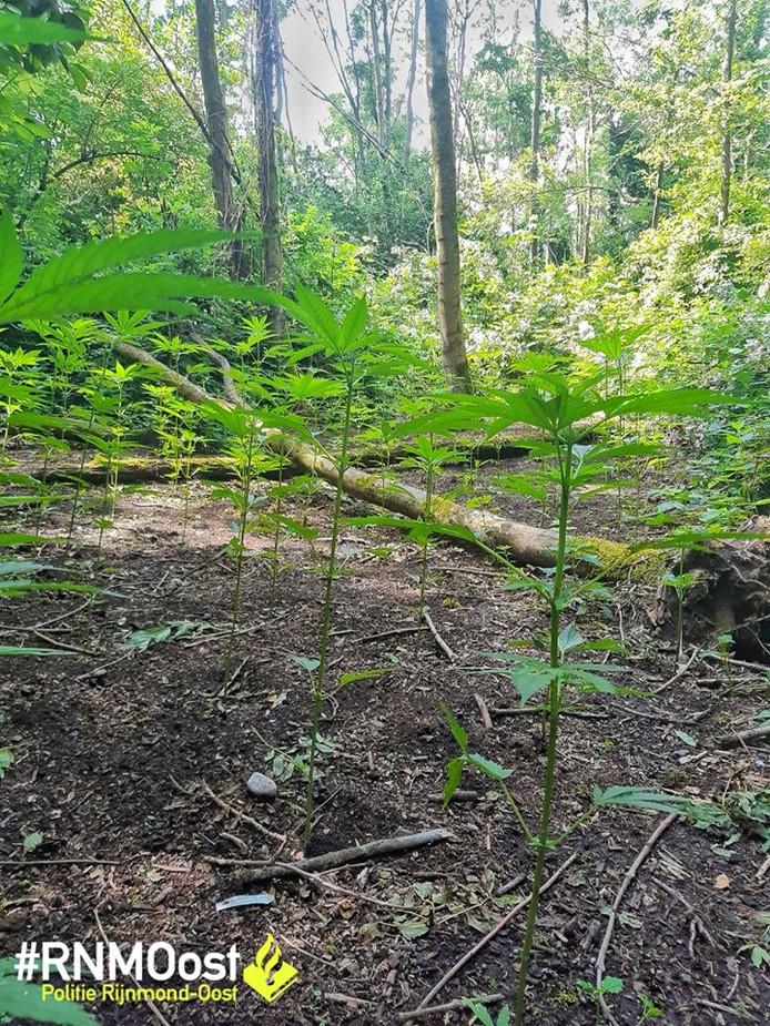 Wietplanten in het bos.