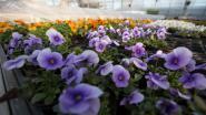 Willebroek moedigt inwoners aan om 'de bloemetjes buiten te zetten'