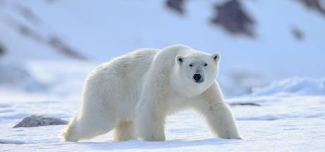 IJsbeer doodt Nederlander (39) op Spitsbergen