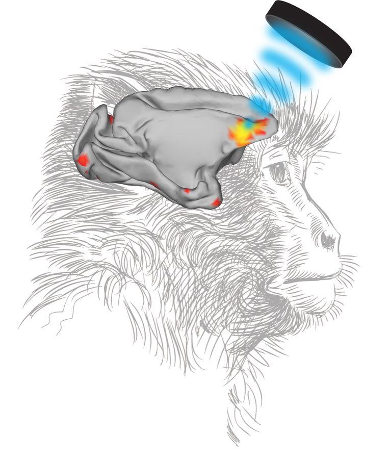 De geelrode kleuren geven de verandering in hersenactiviteit aan, op het moment dat een gebied voor in de apenhersenen gestimuleerd wordt met geluid (hier schematisch in blauw weergegeven). Beeld Jill O'Reilly.