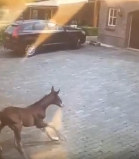 Piepjong veulen ontsnapt uit stal