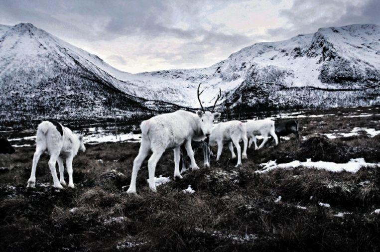 Een deel van de kudde van Laila Inga, op het Noorse eiland Hinnÿya. ¿Rendieren houden is geen werk, maar een manier van leven.¿ (FOTO ERIC FOKKE) Beeld