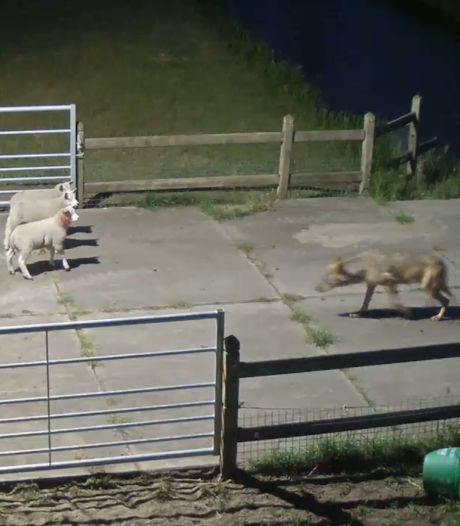 Camera legt wolvenaanval in Vlijmen vast: drie schapen dood