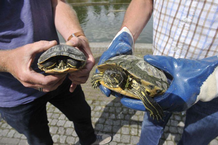 Enkele geel- en roodwangschildpadden. De dieren hebben het vooral gemunt op eenden en vissen in de vijver.