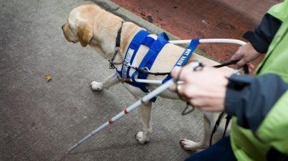 Vrienden der Blinden zoekt pleeggezinnen voor blindengeleidehonden in training