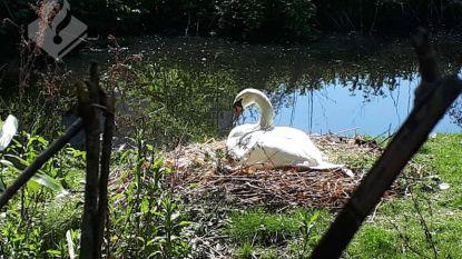 Dierenbeulen teisteren Nederlands park: vier zwanen de nek omgedraaid en eieren vertrapt