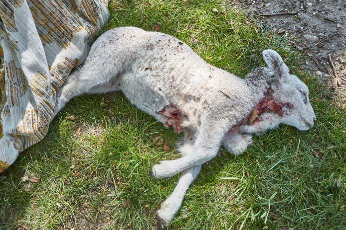Een van de dode lammeren van Reini Groot Nuelend.