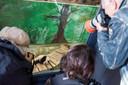 Fan Xing in Ouwehands Dierenpark krijgt veel belangstelling van het publiek.