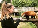 Filerijder Claudia Nijenhuis uit Wijchen aan het werk in safaripark Beekse Bergen in Hilvarenbeek. Op de foto met een rode panda.